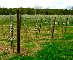 apple orchard in bloom - george w saulpaugh and son